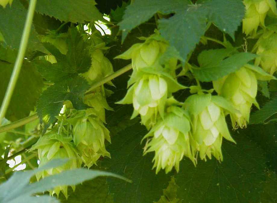 Header Desktop of Hop Growers of America